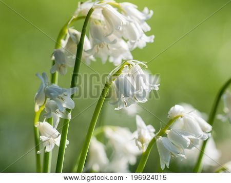 Bunch Of White Bluebell Bluebells Flowers(species Unknown) On Green Background