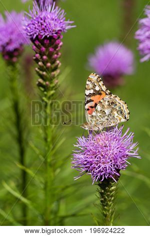 Painted lady butterfly resting on a pink liatris flower