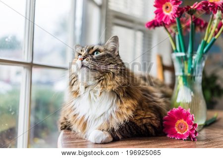 Closeup Portrait Of Calico Maine Coon Cat Lying On Table Looking Outside By Flowers In Vase