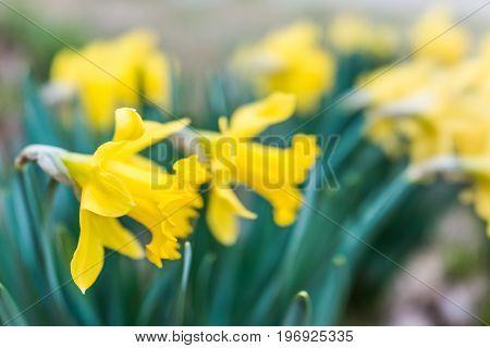 Many open yellow daffodils closeup in garden