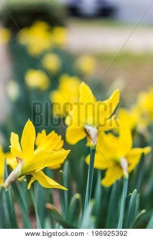 Many Yellow Daffodils Viewed From Behind With Green Leaves