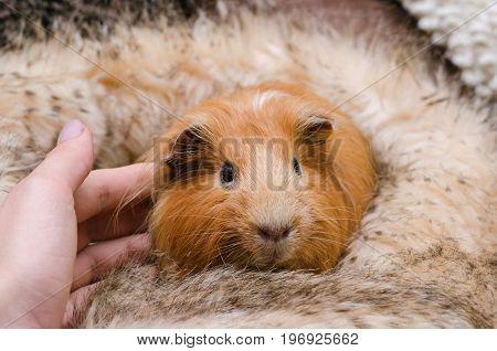 Portrait of cute red guinea pig. A female hand stroking a guinea pig.