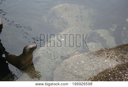 Looking down at a black California sealion resting on rocks visible below the water's surface beside the Coast Guard Pier in Monterey California