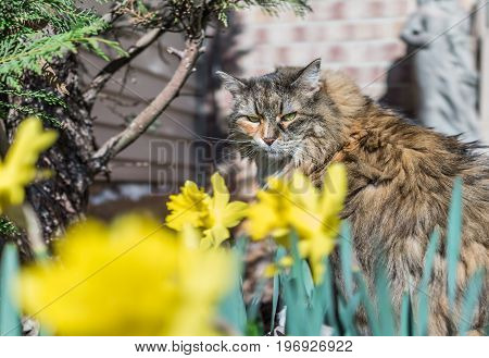 Maine Coot Cat Sitting Outside In Spring By Daffodils