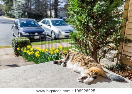 Maine Coot Cat Lying Outside In Spring By Daffodils By Stairs On Porch