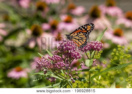 The monarch butterfly sits on a flower at the Watchung Reservation