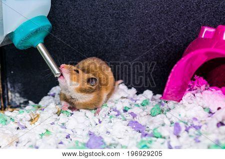 Hamster Rat Rodent Drinking Water From Bottle Dispenser