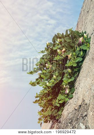 Abstract background with green plants growing in gray concrete stone wall diagonally on a summer sky background on a Sunny day. Copy space. The vertical frame.