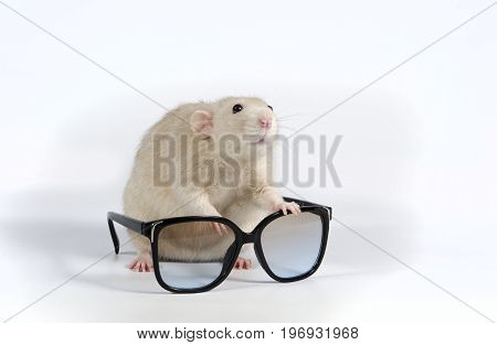 Decorative Rat And Sunglasses.