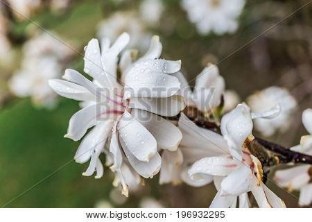 One White Magnolia Flower With Shriveled Brown Dried Leaves In Early Spring