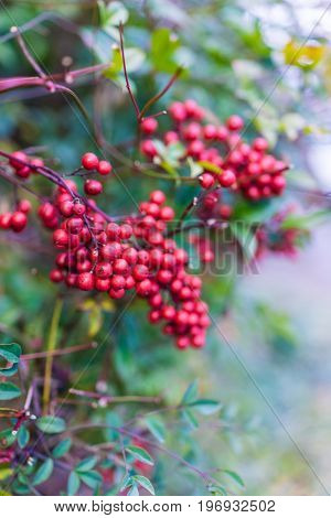 Heavenly Bamboo Or Nandina Domestica Shrub With Red Berries