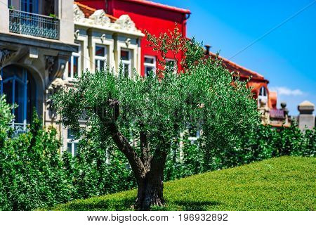 Green Olive Tree In The Center Of Porto City