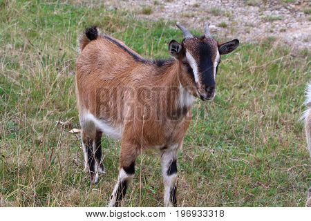 Brown and white goat in a field