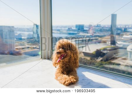 Red toy poodle puppy lies on floor against window. View from high rise window. Looking sideways