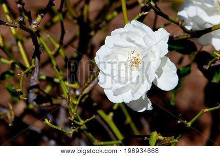Beautiful White Rose - Rosaceae Rosa Iceberg Floribunda