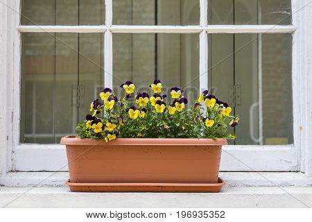 A tub of Pansies on a Window Sill.