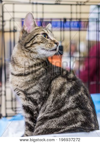 One tabby cat sitting in cage waiting for adoption