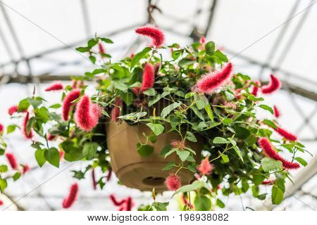 Chenille foxtail acalypha hanging flower pot in greenhouse