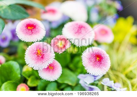 English Daisy Or Bellis Perennis Plant With Colorful Pink And White Flowers Macro Closeup