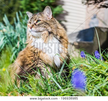 Closeup Portrait Of Calico Maine Coon Cat Outside By Muscari Flowers