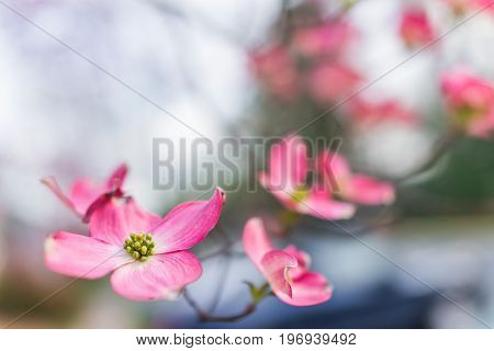Macro Closeup Of Pink Dogwood Flowers On Tree