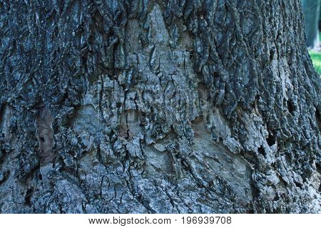 Distorted Poplar Tree Bark Caused by Disease and Ant Infestation