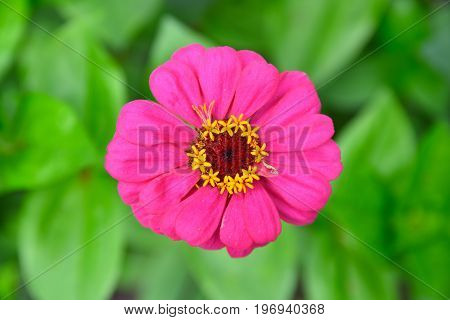 Pink Purple Zinnia Flower In Blossom. Brown Yellow Middle Of Blooming Flower In Garden.