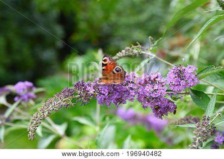 Peacock Butterfly On A Buddleja Bush In Summer