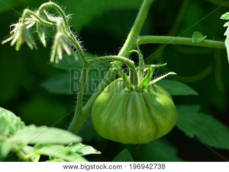 green tomatoes on tomato tree in a garden