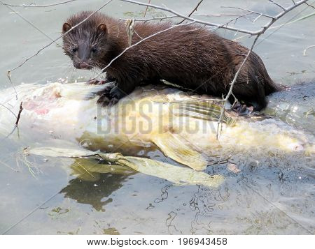 Lontra canadensis (North American river otter) eating fish on a shore of the Lake Ontario in Toronto Canada July 21 2017
