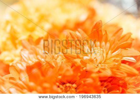 Orange Ombre Yellow Poms Flowers Macro Closeup With Bokeh