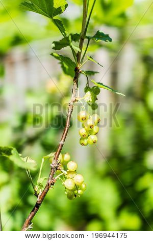 Macro Closeup Of Hanging Red Currant Berries Ripening On Stem Of Plant Bush With Bokeh