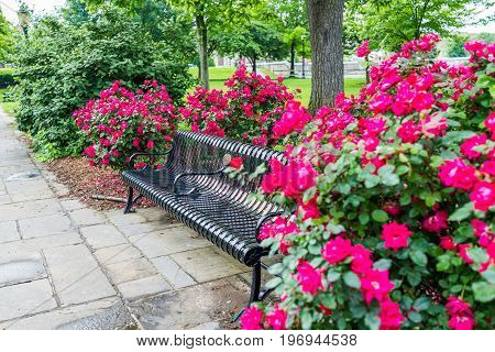 Frederick, Usa - May 24, 2017: Colorful Bench With Bright Pink And Red Roses Bushes With Many Flower