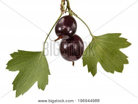 Currant Black Berries Isolated On White Background