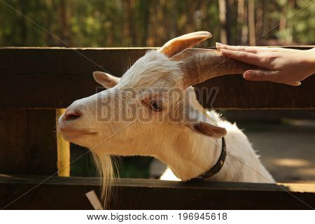Goat In Open Air Zoo Close Up Photo