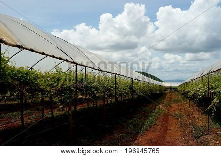 Grape Farm In Countryside