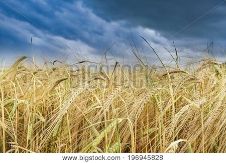 Close up of a golden wheat field on a stormy day