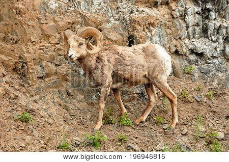 A single big horned sheep walks along the mountain trail.