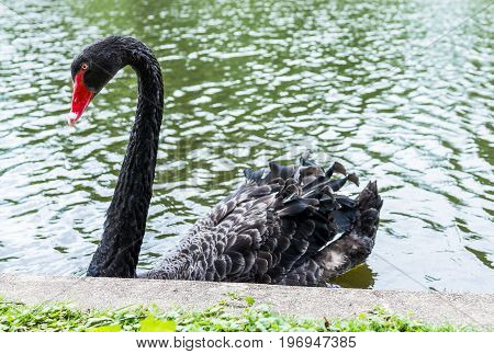 One Black Swan With Red Beak Swimming In Lake In Park During Summer