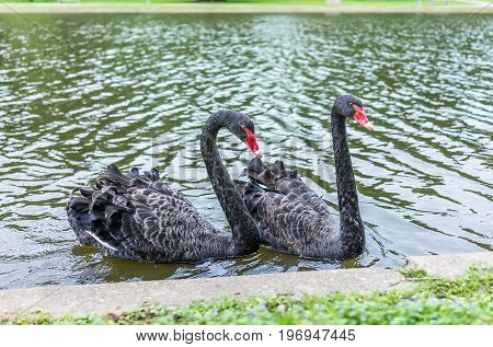 Two Black Swans With Red Beaks Swimming In Lake In Park During Summer