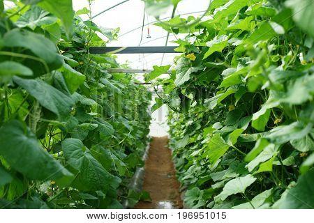 Honeydew Melon Tree In Organic Farm