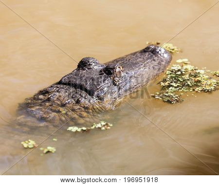 An alligator lurking in the water searching for prey