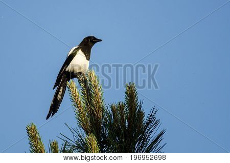 Black-Billed Magpie Perched High in an Evergreen Tree