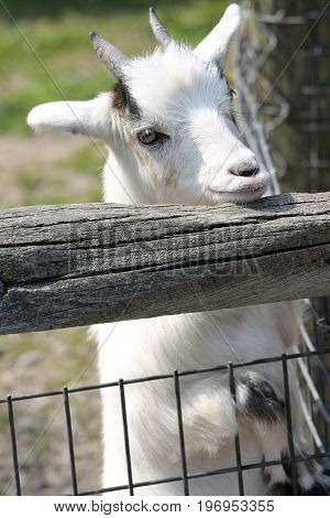 A white goat peaking over a fence.