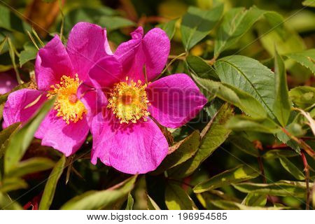 Flower of a Carolina rose Rosa carolina.