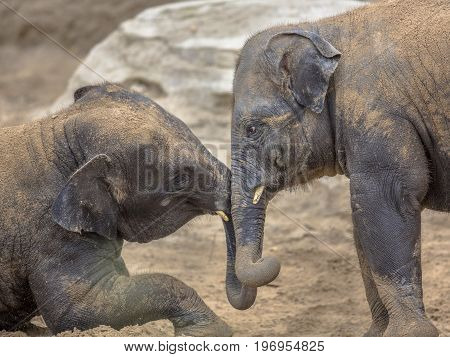 Two Young Elephants Romping In Sand