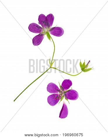 Pressed and dried flower geranium pretense (cranesbill). Isolated on white background. For use in scrapbooking floristry (oshibana) or herbarium.