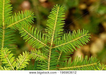 Branch with needles of a European silver fir Abies alba.