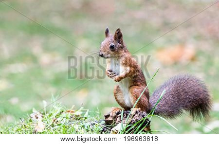 Red Squirrel Sitting On Stump Of Tree In Forest On Blurred Green Grass Background