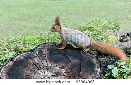 Eurasian Red Squirrel Sitting On Tree Stump In Forest